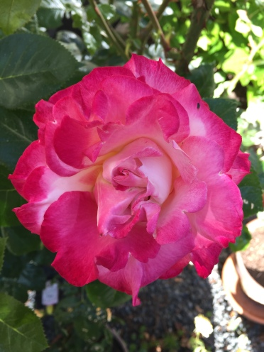 Here is a rose grown in my garden